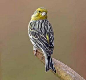 Burung-Kenari-Bisa-Berkembang-Biak-Baik-di-Indonesia-dan-Daftar-Harga-Terbaru